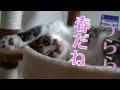 春の宵にまどろむ猫~~ドアップがかわいいトゥリヤ